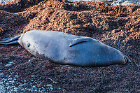 A male elephant seal sleeping on the beach north of the main breeding colony at Año Nuevo State Reserve on the Northern California Coast.  Male elephant seals average 15-feet and 5500 pounds - the size of a Ford Expedition.