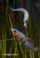 1S17-505z  Male Threespine Sticklebacks defending territories, Mating colors showing bright red belly and blue eyes,  Gasterosteus aculeatus,  Hotel Lake British Columbia