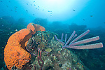 Bonaire, Netherlands Antilles; purple tube sponges and a large, orange elephant ear sponge grow on the coral reef , Copyright © Matthew Meier, matthewmeierphoto.com All Rights Reserved