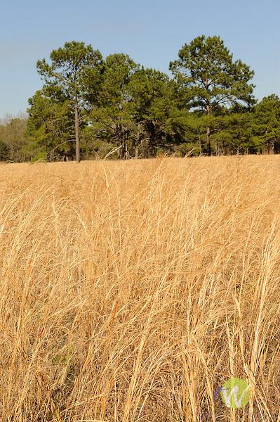 Spring Island, SC. Grassy meadow.