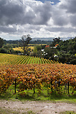 USA, California, Sonoma, a majestic vineyard landscape in the fall, Ravenswood winery and vineyard