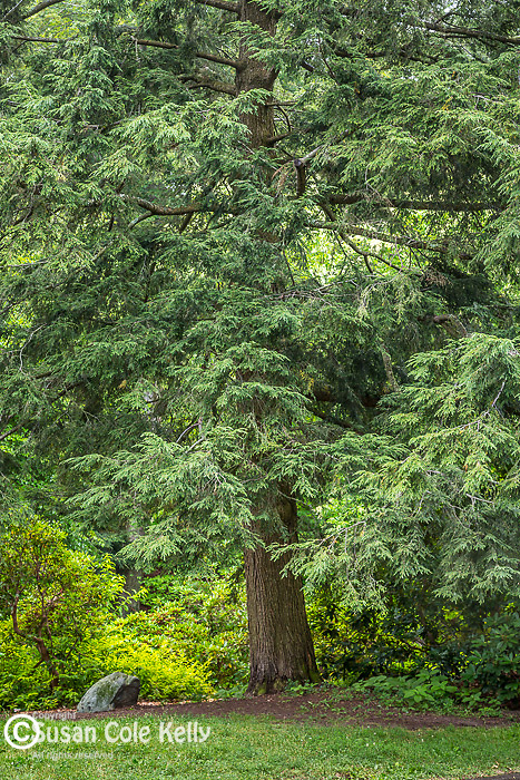 Hemlock trees at the Arnold Arboretum in the Jamaica Plain neighborhood, Boston, Massachusetts, USA