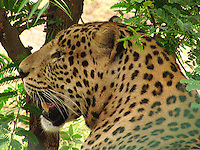 Close-up image of a fierce looking leopard gazing in the thick of forest