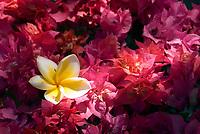 MUS, Mauritius, Hotel Le Cannonier: Blumen | MUS, Mauritius, Hotel Le Cannonier: flowers