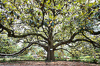This Circle Drive Magnolia tree is on the National Historic Register and ranks as the eight largest champion tree in Florida...COLIN HACKLEY PHOTO