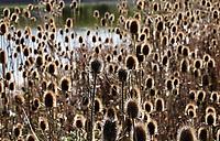 Nederland  Amsterdam - 2019. Uitgebloeide kaardebollen. Kaardebol is een geslacht van ongeveer veertien soorten bloeiende planten uit de Kaardebolfamilie.  De botanische naam is Dipsacus. Berlinda van Dam / Hollandse Hoogte
