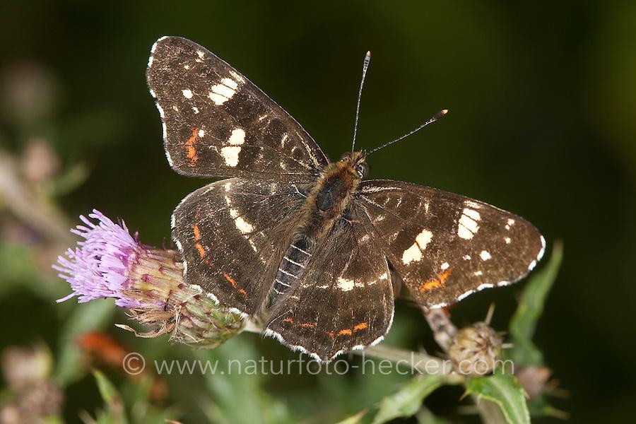 Landkärtchen, Sommer-Generation, 2. Generation, Blütenbesuch auf Kratzdistel, Araschnia levana, map butterfly