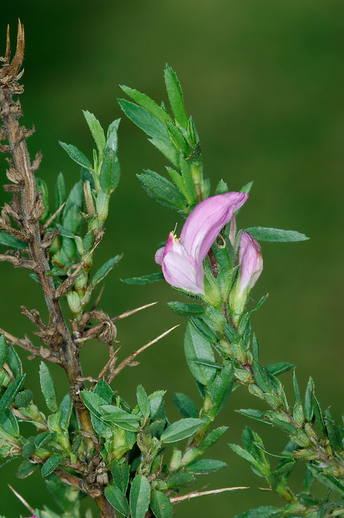 SPINY RESTHARROW Ononis spinosa (Fabaceae) Height to 70cm. Similar to Common Restharrow but upright and bushy, with spiny stems. Favours grassland on clay and heavy soils. FLOWERS are 10-15mm long and deep pink, the wings shorter than the keel (Jul-Sep). FRUITS are pods that are longer than the calyx. LEAVES are trifoliate with narrow, oval leaflets. STATUS-Local, mainly in England.