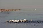 white pelicans fishing at the Salton Sea