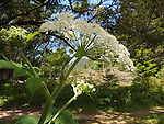Cow parsnip near West Waddell Creek in Big Basin State Park