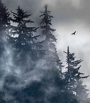 USA, Alaska, Glacier Bay National Park, ravens