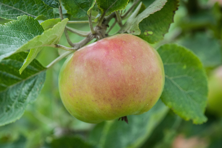 Apple 'Broad-Eyed Pippin', mid August. An English culinary apple so-called because of its large open eye set in a deep basin. Origin uncertain.