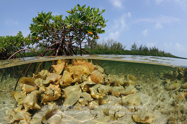 qa32107-D. Red Mangroves (Rhizophora mangle), split view showing dead (empty) shells of Queen Conchs (Strombus gigas), harvested by local fishermen, stacked in front of buttress-like root system. Bahamas, Atlantic Ocean. .Photo Copyright © Brandon Cole. All rights reserved worldwide.  www.brandoncole.com..This photo is NOT free. It is NOT in the public domain. This photo is a Copyrighted Work, registered with the US Copyright Office. .Rights to reproduction of photograph granted only upon payment in full of agreed upon licensing fee. Any use of this photo prior to such payment is an infringement of copyright and punishable by fines up to  $150,000 USD...Brandon Cole.MARINE PHOTOGRAPHY.http://www.brandoncole.com.email: brandoncole@msn.com.4917 N. Boeing Rd..Spokane Valley, WA  99206  USA.tel: 509-535-3489