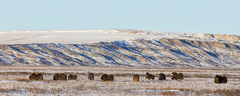 Panorama of muskoxen on the snow covered tundra of Alaska's Arctic Coastal Plain.
