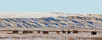 Panorama of muskoxen on the snow covered tundra of Alaska's Arctic Coastal Plain.