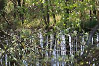 Tümpel, Teich, Weiher, Feuchtgebiet, Sumpf, Sumpfgebiet, Erlenbruch, Bruchwald