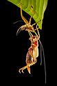 Spiny Lobster Katydid (Panoploscelis sp.) shedding its skin at night. Manu Biosphere Reserve, Amazonia, Peru. November.