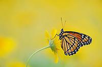 Viceroy Butterfly (Limenitis archippus), adult perched on Huisache Daisy (Amblyolepis setigera), Fennessey Ranch, Refugio, Corpus Christi, Coastal Bend, Texas Coast, USA