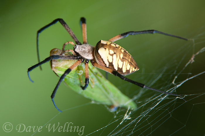 389990008 a wild yellow garden spider argiope aurantia feeds on prey in its web at hornsby bend travis county texas