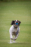 © Joel Goodman - 07973 332324 . 28 July 2013 . Rochdale Cricket Club , Bridgefold Road , OL11 5BX , UK . Nice weather for dogs - rain stops play between Rochdale and Clifton CC but Jaffa the six-year-old Springer Spaniel and Rochdale club mascot is loving it . Photo credit : Joel Goodman