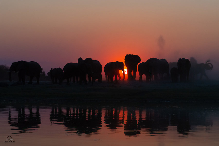 """After an afternoon of drinking water from the Chobe River, a herd or """"parade"""" of Elephants (Loxodonta africana) literally heads off into the sunset. They all moved over to a dusty area near the bank, to get the dust and mud baths necessary to keep their skins clear of parasites and to cool off."""