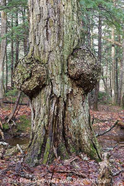 Burl on the trunk of what is believed to be an old dead maple tree in the Steam Mill Brook drainage of Albany in the New Hampshire White Mountains.
