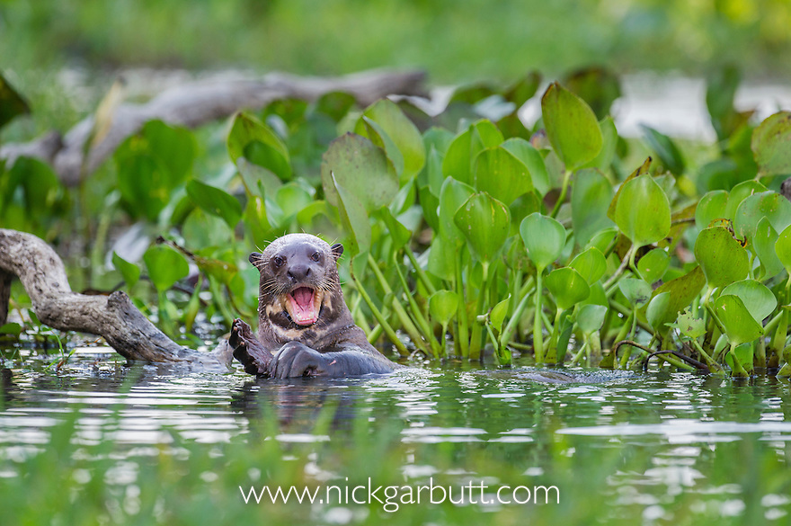 Giant Otter (Pteronura brasiliensis) in a lagoon off the Paraguay River, Taiama Reserve, western Pantanal, Brazil.