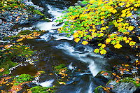 Fall foliage on trees and fallen leaves are seen in Cedar Creek as it flows over the moss covered rocks in Fall.