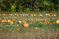 Pumpkin patch, Millstone, New Jersey, USA