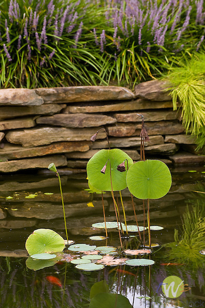 Lotus plant.