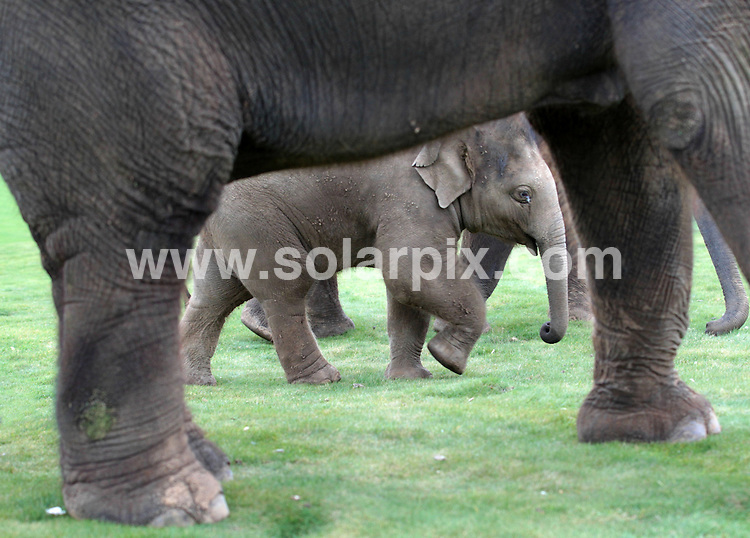 **ALL ROUND PICTURES FROM SOLARPIX.COM**                                             **NO UK NEWSPAPER PUBLICATION**.**UK MAGAZINE & SUPPLEMENT PUBLICATION ONLY** AND NO PUBLICATION IN AUSTRALIA, BELGIUM, FRANCE, GERMANY, ITALY, SCANDINAVIA AND USA**                                                                                  Caption:  George the baby elephant took his first walk on the Chitern Downs with his mother Karishma (pictured) and big brother Euan. George, who is one on April 12th, has made great progress in the last 12 months at Whipsnade Zoo and has more than doubled in weight. Born weighing 124kg (almost 20 stone) he is now a hefty 536kg. Whipsnade Zoo, UK. 4 April 2011                                                                           This pic: George the baby elephant                                                                                             JOB REF: 13086 SFE       DATE: 04_04_2011                                                            **MUST CREDIT SOLARPIX.COM OR DOUBLE FEE WILL BE CHARGED**                                                                      **MUST AGREE FEE BEFORE ONLINE USAGE**                               **CALL US ON: +34 952 811 768 or LOW RATE FROM UK 0844 617 7637**