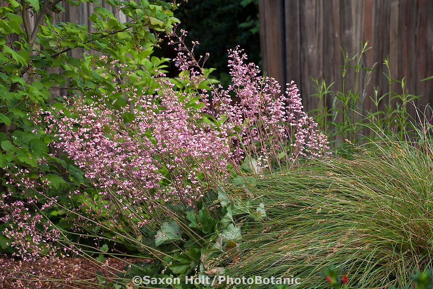 Heuchera, coral bells flowering perennial among California native plants, Heath-Delaney garden