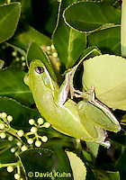 1218-1017  American Green Treefrog Climbing in Bush, Hyla cinerea  © David Kuhn/Dwight Kuhn Photography