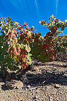 schist soil autumn colours vineyard quinta do seixo sandeman douro portugal