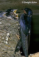 BA05-006z  Barn Swallow - parent at nest full of  young - Hirundo rustica