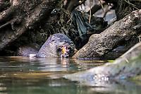 Neotropical River Otter Lontra longicaudis, Selva Verde Nature Reserve, Rio Sarapiqui region, Heredia, Costa Rica