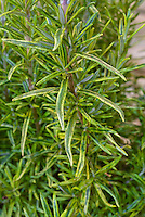 Rosmarinus officinalis Sunkissed variegated rosemary herb with green and gold yellow foliage leaves