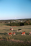 Dairy cattle grazing, Queen's County, PEI