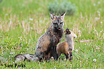 Cross (red) fox with young kits at den. Grand Teton National Park, Wyoming.