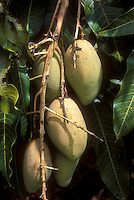 Mango Mangifera indica 'Sia Tong' growing on tree, showing several yellowish elongated mangos fruits in cluster