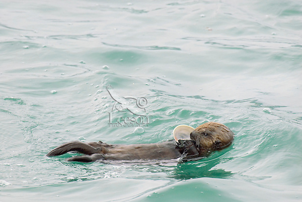 Sea Otter (Enhydra lutris) pup investigating and eating clam--this pup is fairly new to regular food (besides mother's milk).  Here mom has given it a part of a clam to investigate (play with) and eat.