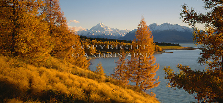 Autumn Larch trees at Lake Pukaki in the Mackenzie Country. Canterbury Region. New Zealand.