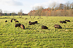 Black Hebridean sheep grazing in pasture, Blackland Park, near Calne, Wiltshire, England, UK