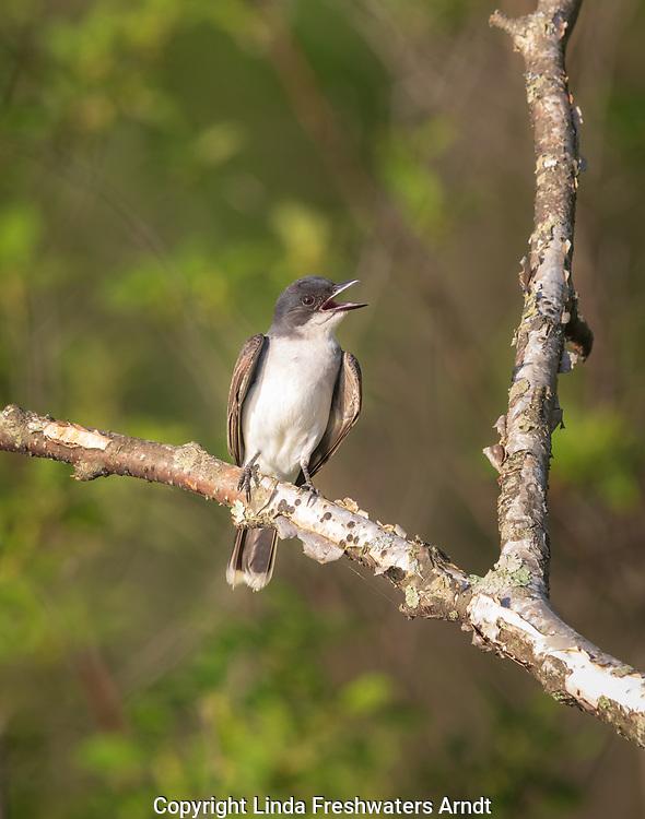Eastern kingbird singing in norhern Wisconsin.