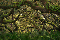 The intertwining of oaks brings coherence to an otherwise remote and wild area in the maritime forest of Cumberland Island National Seashore.