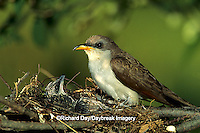 01099-00414 Yellow-billed cuckoo (Coccyzus americanus) adult and nestling at nest   IL