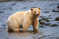 spirit bear, Kermode, black bear, Ursus americanus, mother in a stream the rainforest of the central British Columbia coast, Canada
