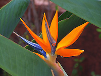 A close-up of a beautiful bird of paradise flower framed by leaves, Hawai'i.