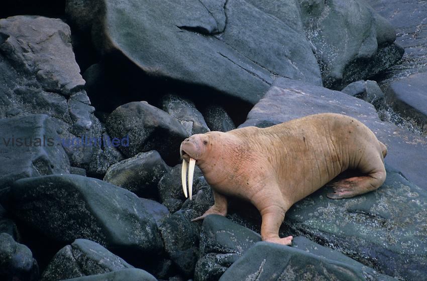 Male Pacific Walrus, Round Island, Alaska, USA