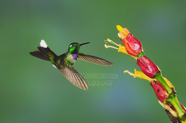Purple-bibbed Whitetip (Urosticte benjamini), male feeding from ginger flower,Mindo, Ecuador, Andes, South America